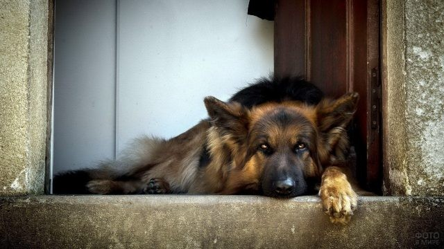 Дремлющая сторожевая собака в дверях дома