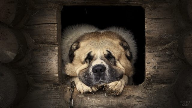 Грозный спящий пёс в будке