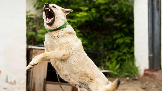 Оскал белой собаки в прыжке
