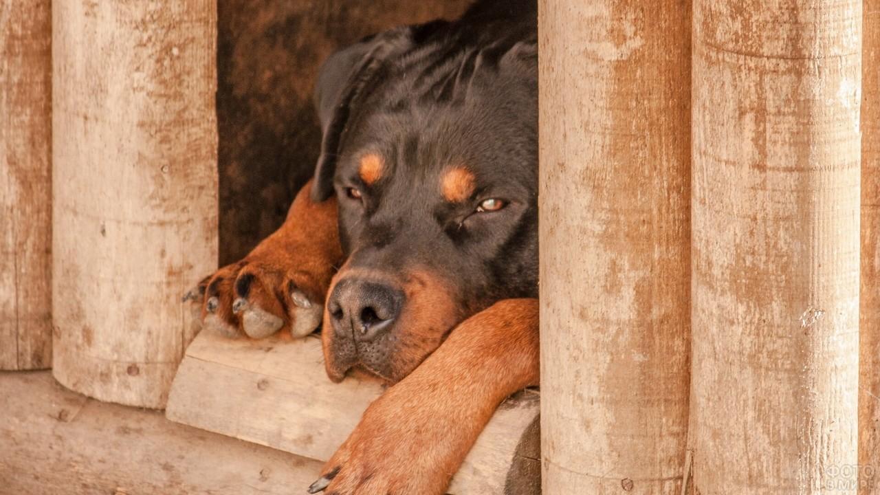 Ротвейлер дремлет в деревянной будке