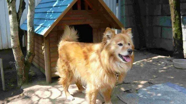 Рыжая собачка на цепи во дворе