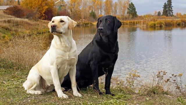 Собаки на берегу реки