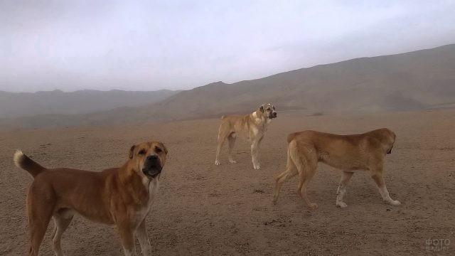 Среднеазиатские собаки бегают по пустыне