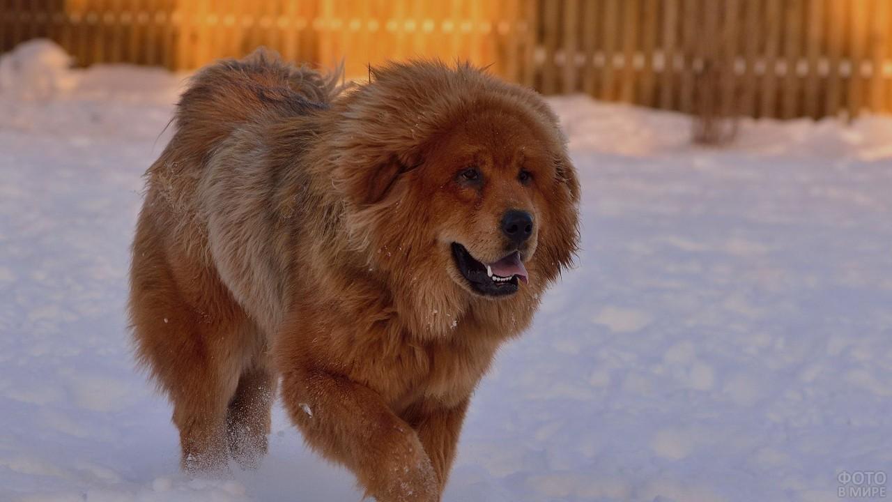 Сторожевая собака бежит по снегу на фоне забора