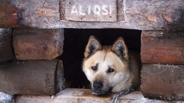 Сторожевая собака лежит в своей будке