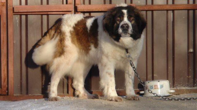 Сторожевая собака на цепи
