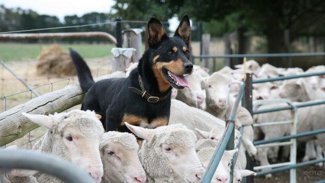 Сторожевая собака среди овец в загоне