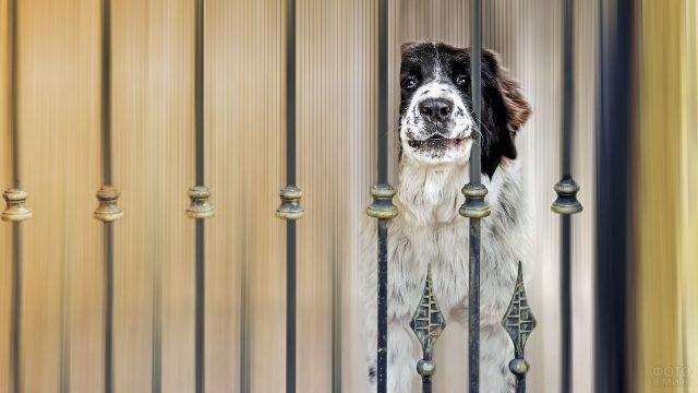 Сторожевая собака за кованым забором