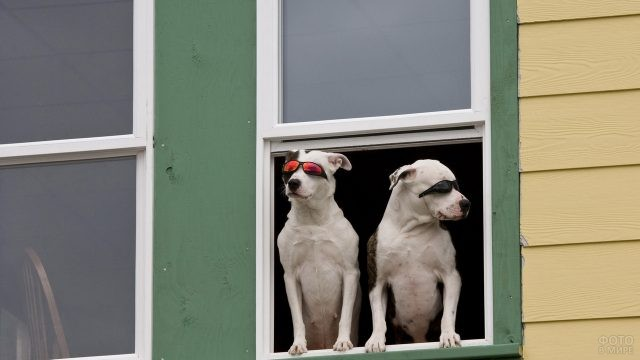 Сторожевые собаки в солнцезащитных очках в окне