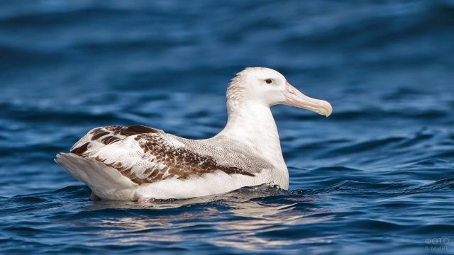 Альбатрос качается на волнах