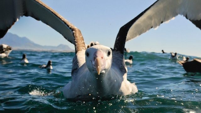 Альбатрос машет крыльями в воде