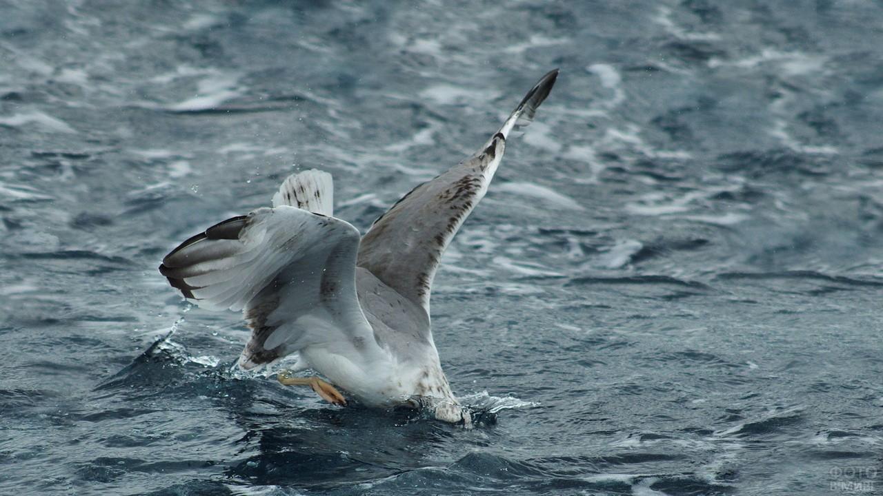 Альбатрос ныряет за добычей
