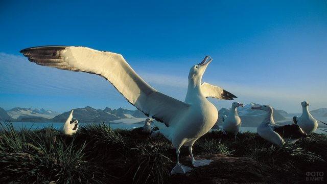 Альбатрос размахнул крылья
