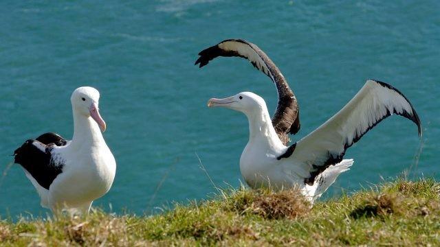 Альбатрос танцует перед самкой на фоне моря
