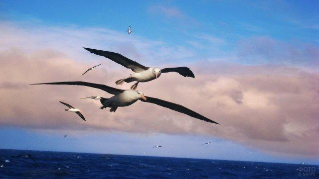 Альбатросы над волнующимся морем