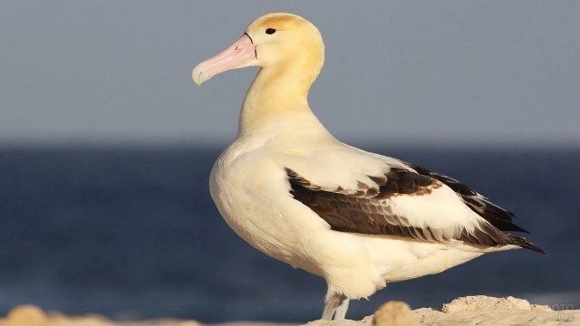 Белоспинный альбатрос на скале