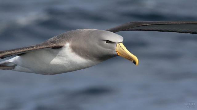 Чатемский альбатрос летит над морем