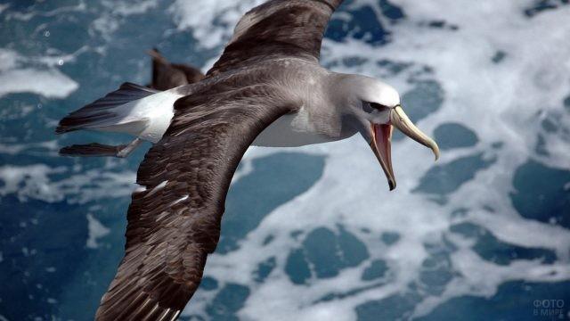 Чатемский альбатрос с открытым клювом