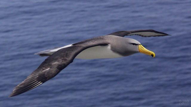 Чатемский альбатрос в полёте