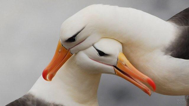 Чернобровый альбатрос с самкой
