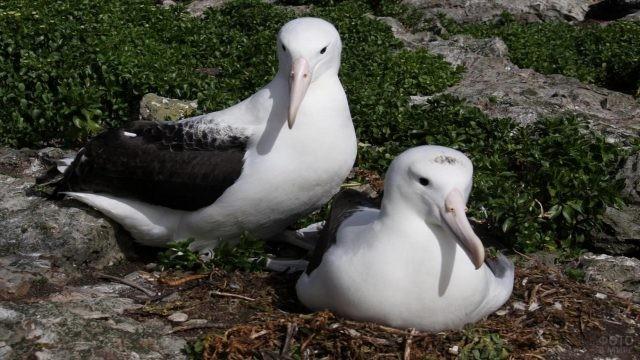 Гнездовье семейства альбатросов