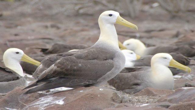 Королевский альбатрос во время кочёвки