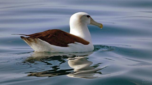 Крупная особь альбатроса