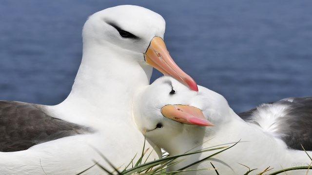 Пара влюблённых альбатросов