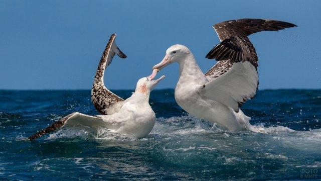 Парный танец альбатросов