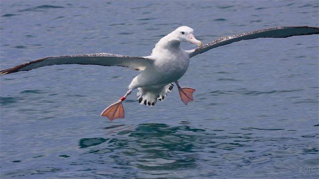 Посадка альбатроса на воду
