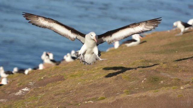 Разбег альбатроса перед взлётом