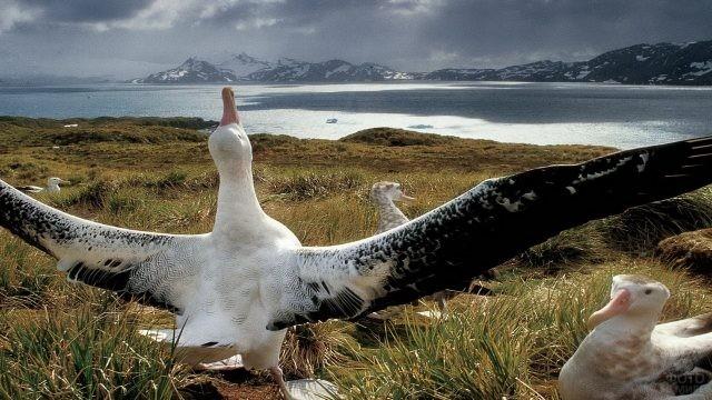 Размах крыльев альбатроса на берегу моря