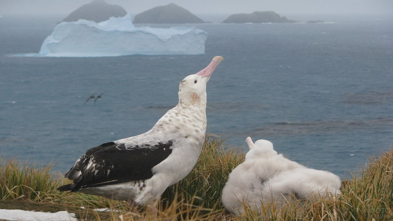 Самка альбатроса с птенцом у моря