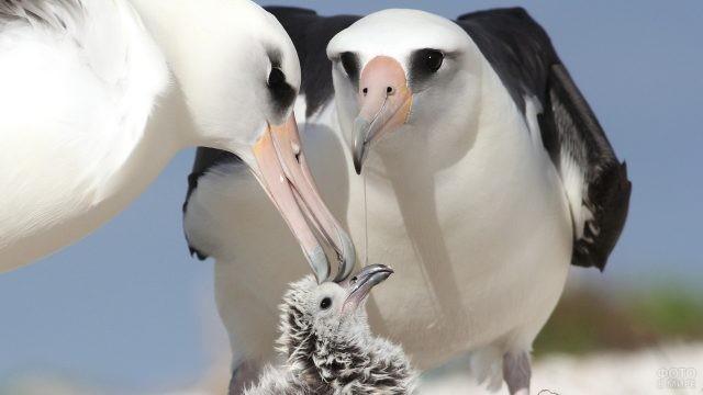 Семейство королевских альбатросов