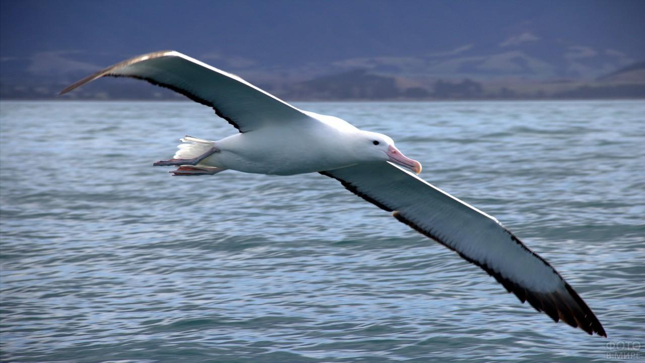 Странствующий белоснежный альбатрос