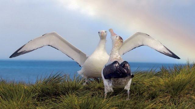 Танец альбатросов на берегу моря