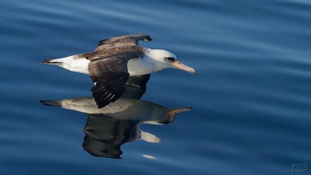 Темноспинный альбатрос и его отражение
