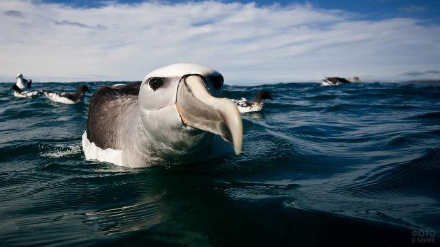 Темноспинный альбатрос в воде
