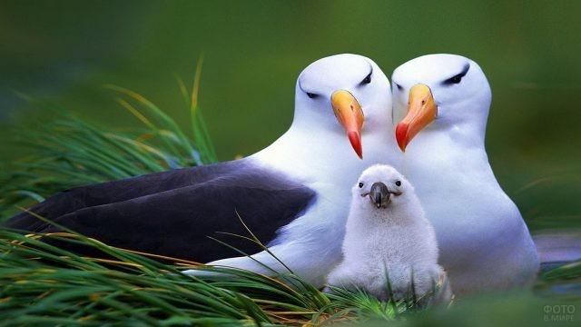 Влюблённые альбатросы с птенцом
