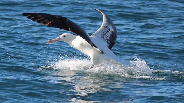 Взлёт южного королевского альбатроса с воды