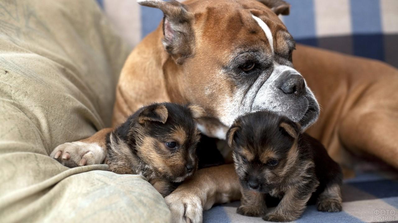 Бульдог с щенками на диване