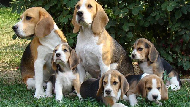 Семья собак породы бигль возле кустов