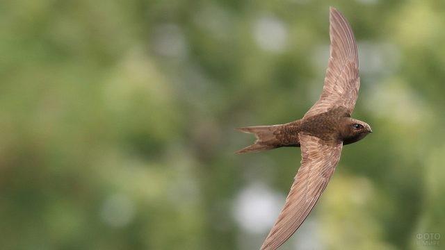 Коричневый стриж летит, расправив крылья