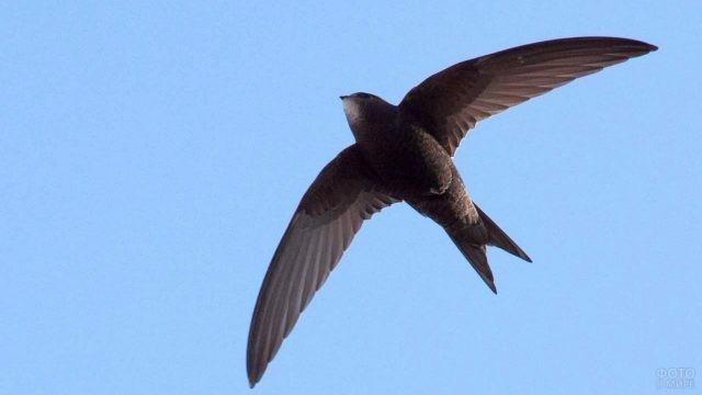 Летящий стриж в небе