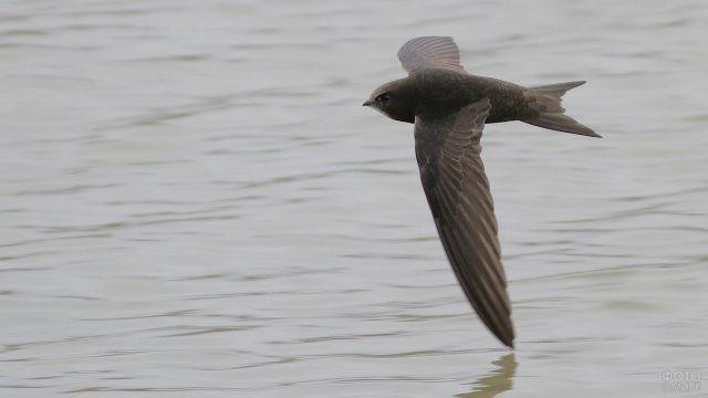 Полёт иглохвостого стрижа над водной гладью