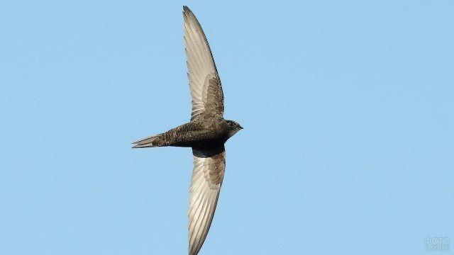 Птица стриж с распахнутыми крыльями