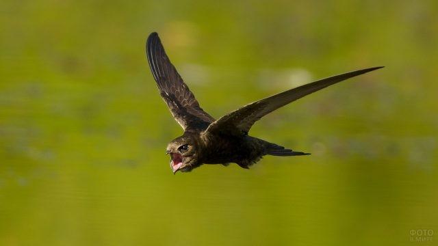 Стриж летит с раскрытым клювом