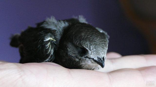 Стриж спит на ладони