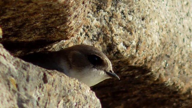 Стриж выглядывает из щели между камнями