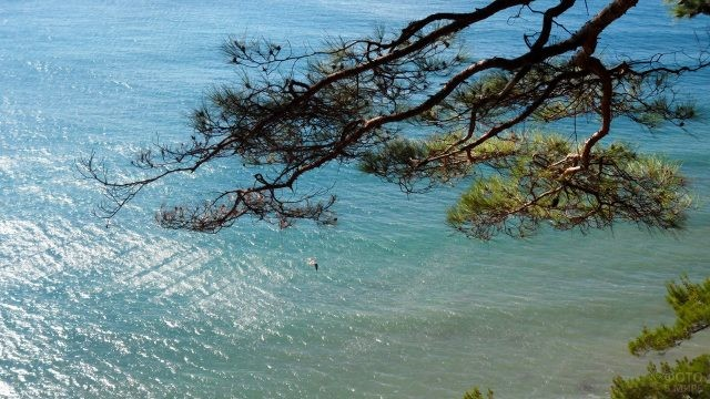 Ветка сосны склонилась над Чёрным морем